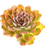 Load image into Gallery viewer, Echeveria Painted Frills - 4 Inch Pot