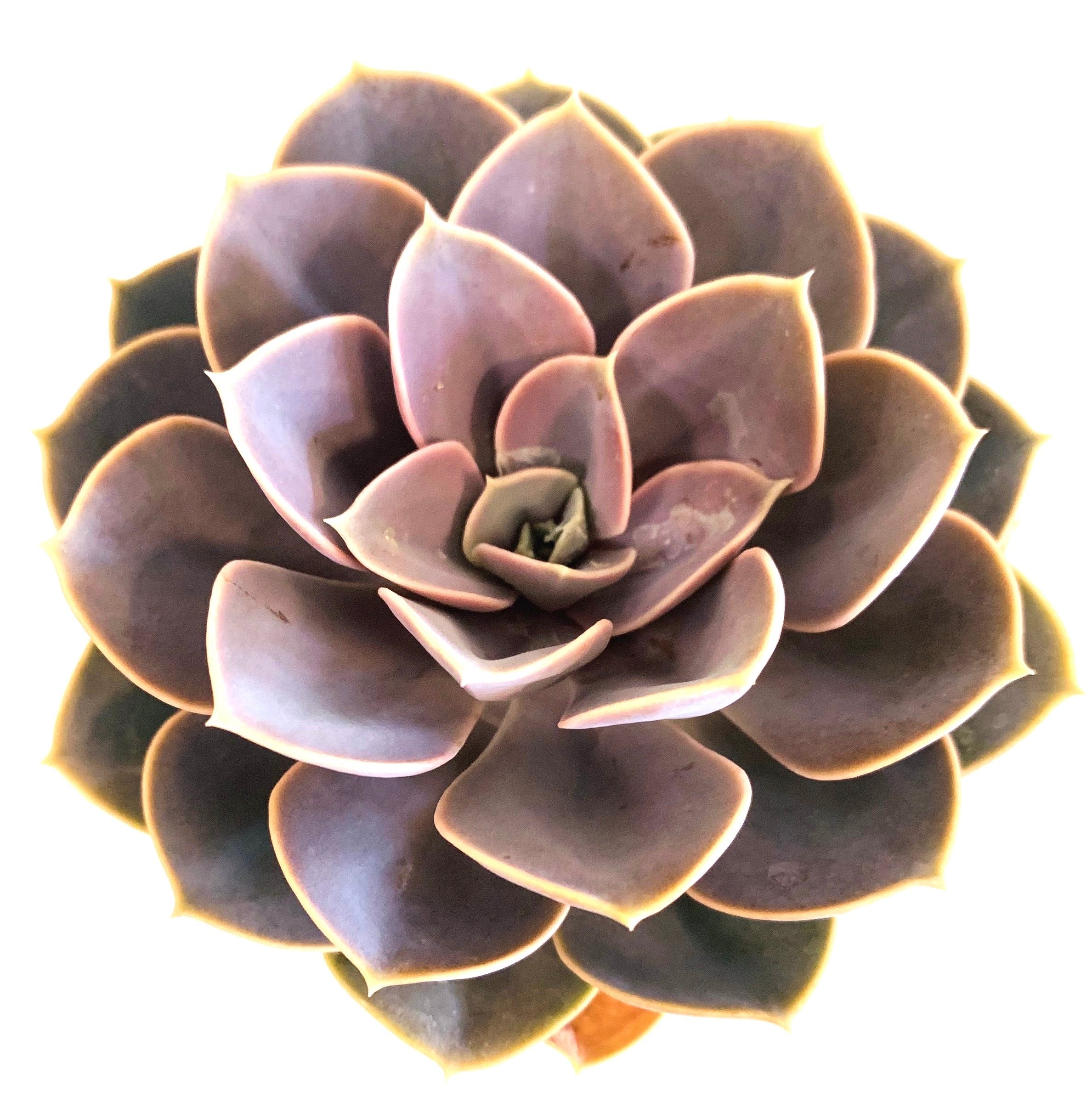 Echeveria Purple Perle V. Nurnberg - 4 Inch Pot