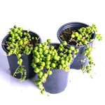 Load image into Gallery viewer, String of Pearls Succulents (Senecio Rowleyanus) - 3.5 Inch Potted