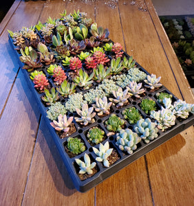 Assorted Succulents (72Ct)