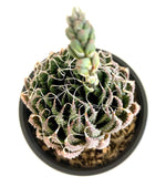Load image into Gallery viewer, Haworthia Aristata - 4 Inch Pot