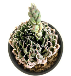 Haworthia Aristata - 4 Inch Pot