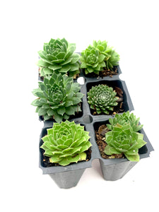 "Assorted Hens & Chicks 1.5"" Unpotted"