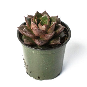 Echeveria Purporeum - 4 Inch Pot