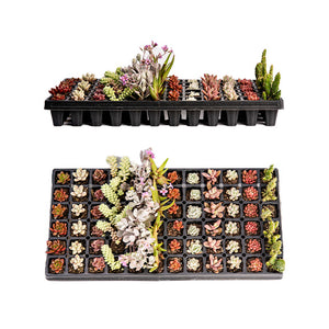 ASSORTED SUCCULENTS 1.5 Inch (Starting at quantities of 6)
