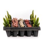 Load image into Gallery viewer, ASSORTED SUCCULENTS 1.5 Inch (Starting at quantities of 6)