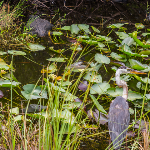 An alligator and a crane in a swamp in Everglades National Park