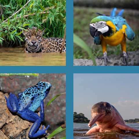 Animals of the Amazon Rainforest-Jaguar Macaw Poison Dart Frog and River Dolphin