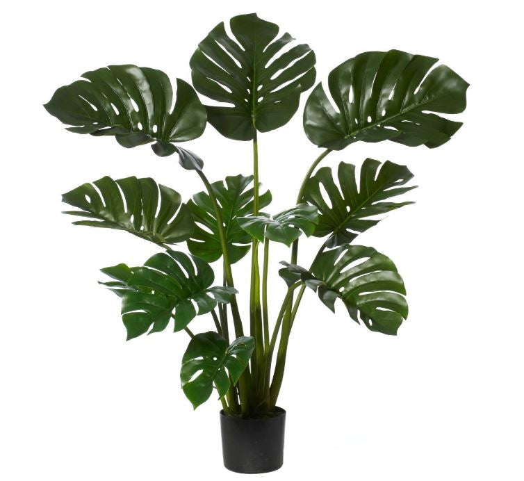 Monsteria Large Potted Plant