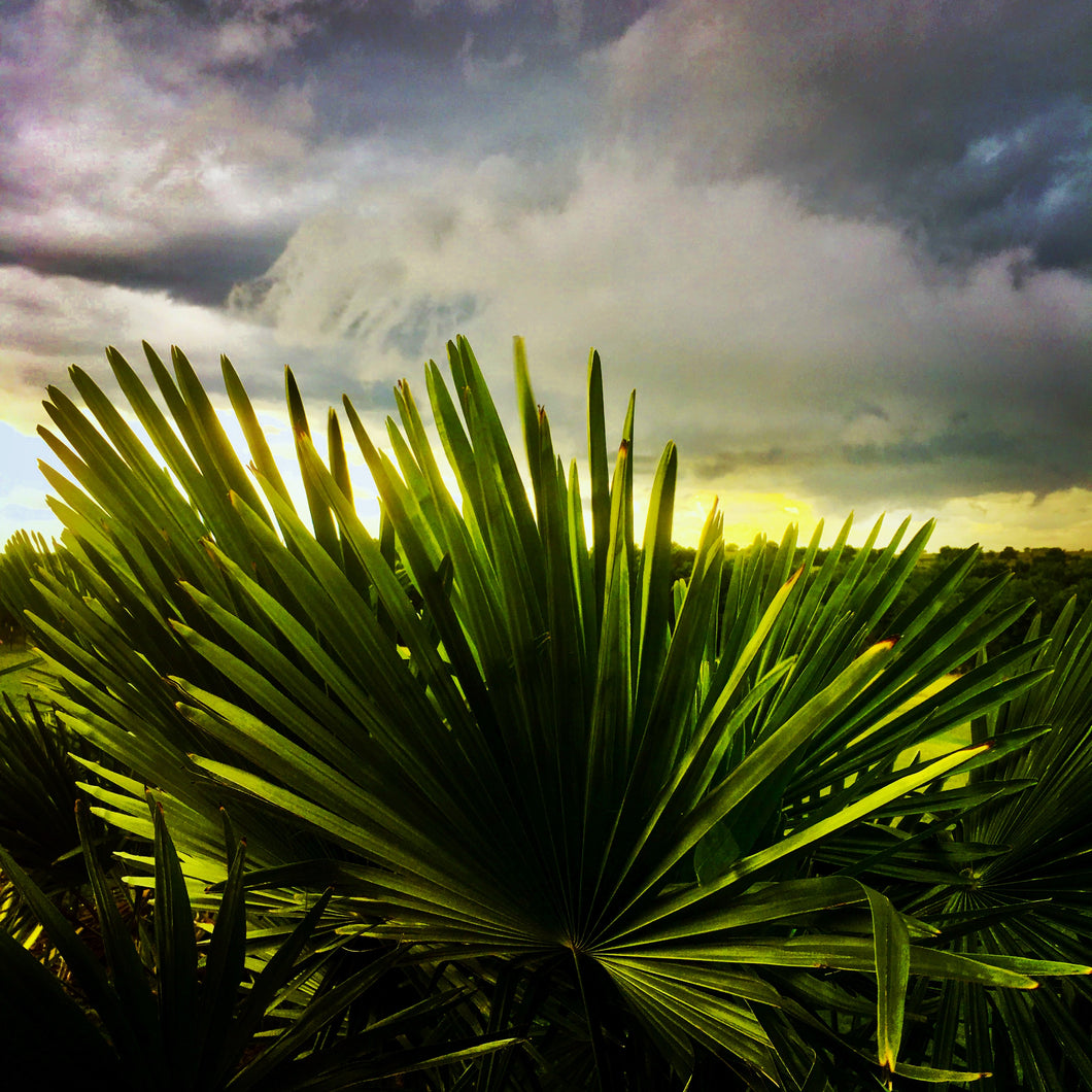 """Large Palm, Sunset"""