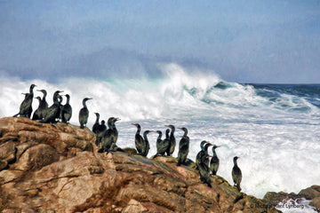 Brandt's Cormorants - Gallery-by-the-Sea Carmel