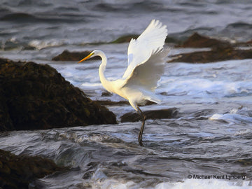 Great Egret Cypress Point - Gallery-by-the-Sea Carmel