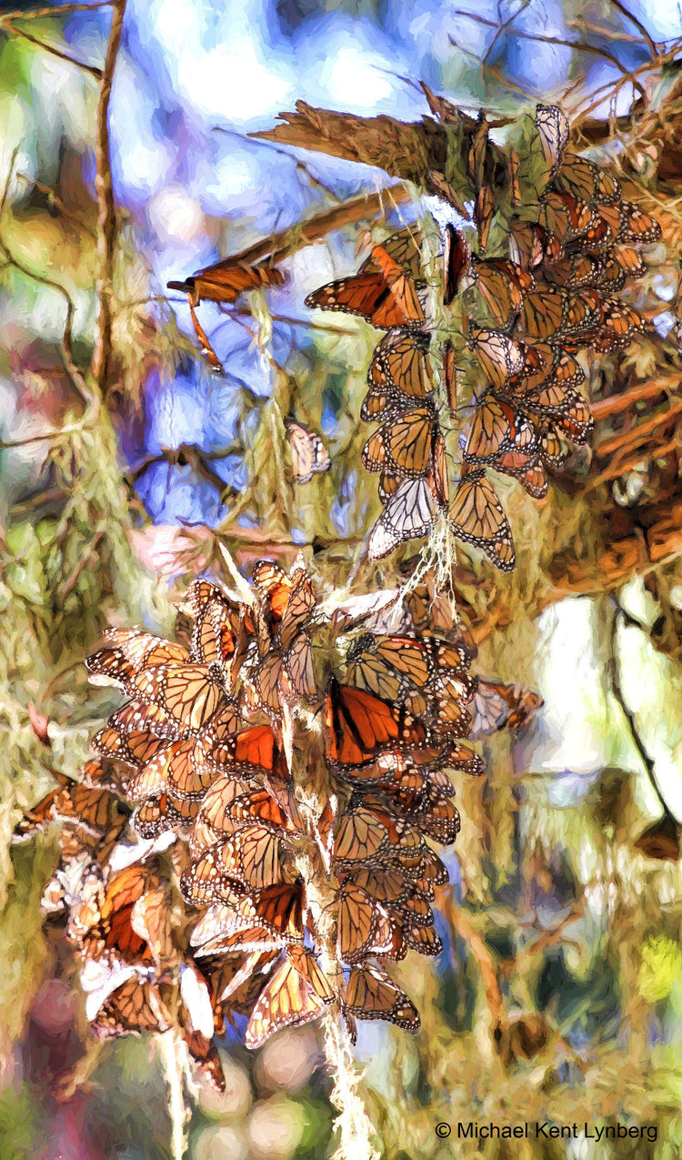 Monarch Butterflies Pacific Grove - Gallery-by-the-Sea Carmel