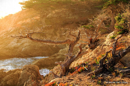Monterey Cypress - Gallery-by-the-Sea Carmel