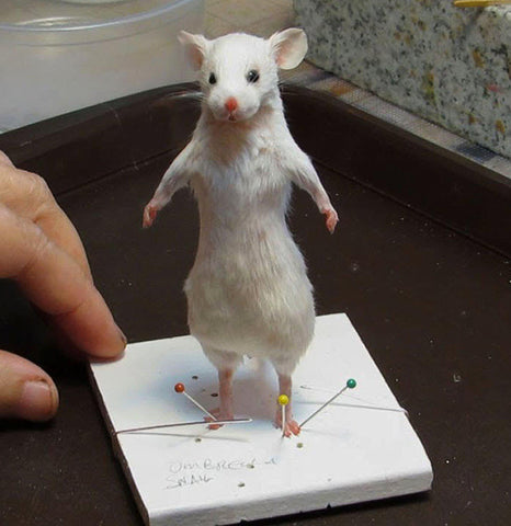 DIY Taxidermy Mouse Class-Workshop-Geoffrey Vassallo-PaxtonGate