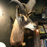 Roan Antelope Taxidermy Mount-Taxidermy-Claire Corley-PaxtonGate