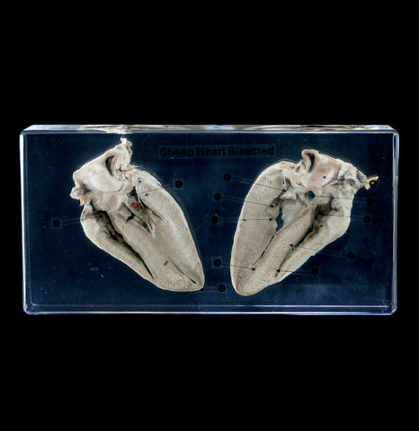 Sheep Heart Bisection in Acrylic - PaxtonGate