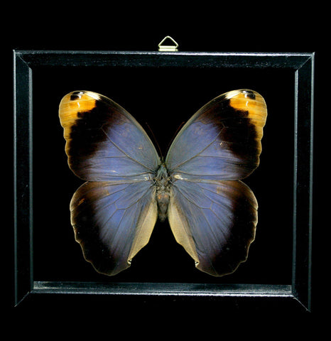 Double Glassed Framed Caligo Beltrao Butterfly-Insects-Al & Judy Scramstad-PaxtonGate