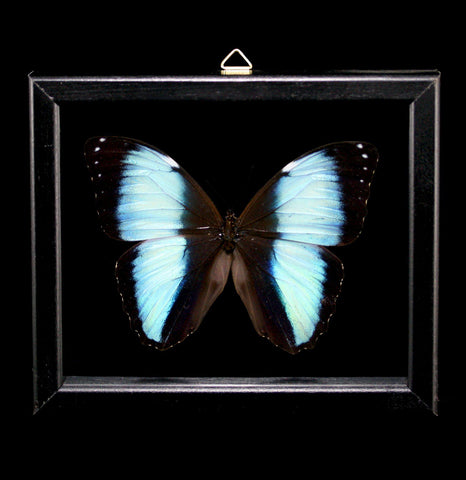 Double Glass Framed Morpho Orestes Butterfly-Insects-Al & Judy Scramstad-PaxtonGate