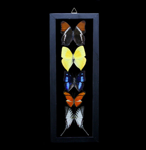 Five Double Glass Framed Peruvian Butterflies-Insects-Butterflies By God-PaxtonGate