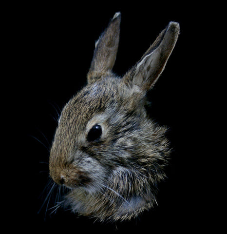Rabbit Kitten Taxidermy Head Mount-Taxidermy-Thunder Bay Taxidermy-PaxtonGate