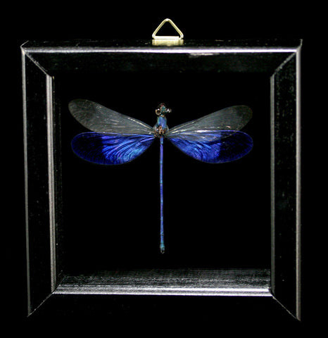 Double Glass Framed Neurobasis Kaupi Dragon Fly-Insects-Al & Judy Scramstad-PaxtonGate