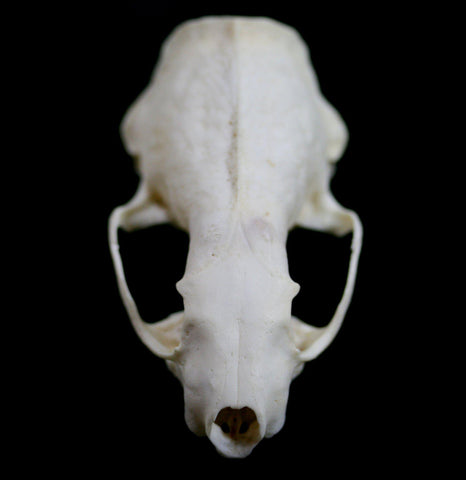 Mink Crafting Skull-Skulls-White Fox Fur & Feather-PaxtonGate