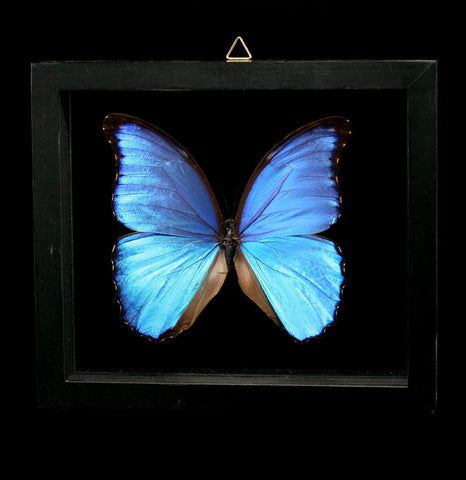 Double Glass Framed Morpho Didius Butterfly-Insects-Butterflies By God-PaxtonGate