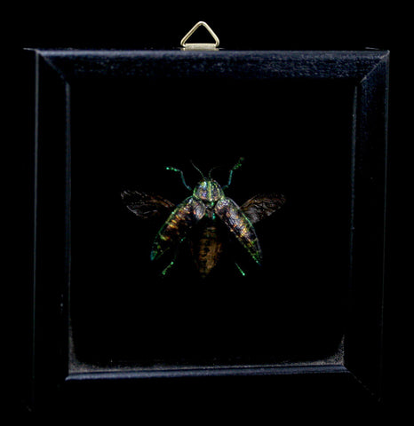 Double Glass Framed Polybothris Sumptuosa Beetle-Insects-Al & Judy Scramstad-PaxtonGate