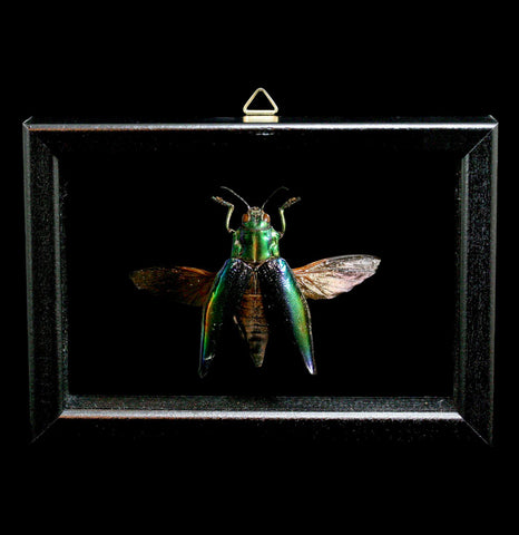 Double Glass Framed Cyphogastra Calepyga-Insects-Al & Judy Scramstad-PaxtonGate