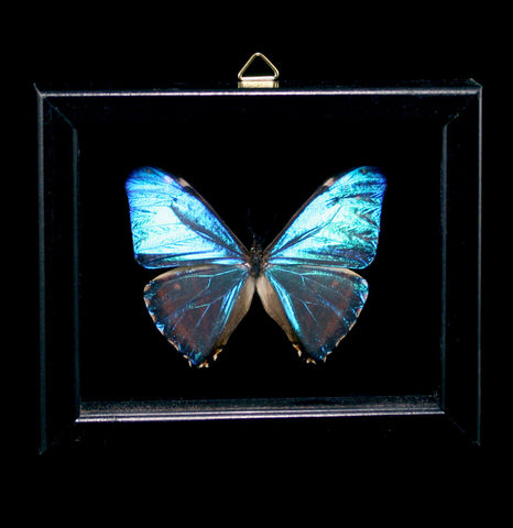 Double Glass Framed Morpho Zephyrites Butterfly-Insects-Al & Judy Scramstad-PaxtonGate