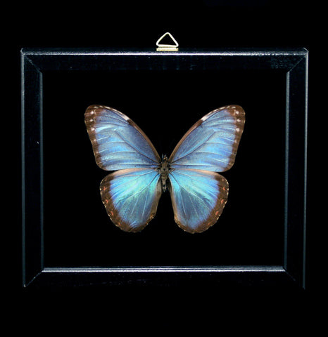 Double Glass Framed Morpho Peleides Butterfly-Insects-Al & Judy Scramstad-PaxtonGate