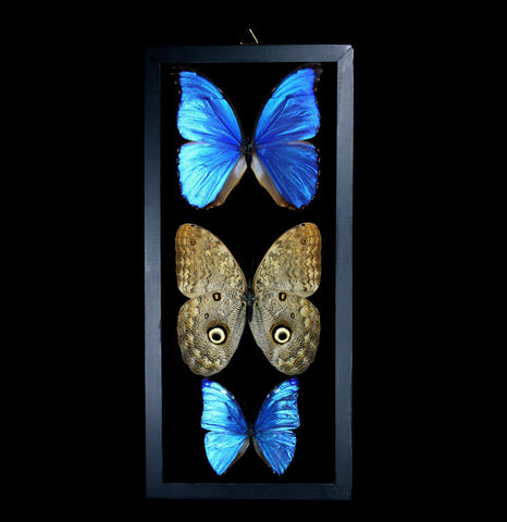 Morpho and Owl Butterfly Collection-Insects-Butterflies By God-PaxtonGate