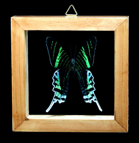 Double Glass Framed Urania Leilus Moth-Insects-Butterflies By God-PaxtonGate