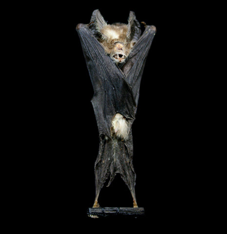 Hanging Rhinolophus Acuminatus Mummified Bat-Taxidermy-Atlantic Coral Enterprise-PaxtonGate