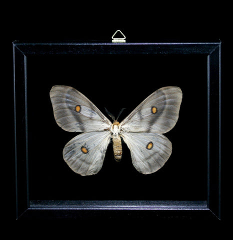 Double Glass Framed Ceranchia Apolina Moth-Insects-Al & Judy Scramstad-PaxtonGate