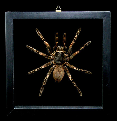 Double Glass Framed Pampobethus Tarantula-Insects-Butterflies By God-PaxtonGate