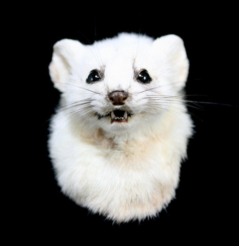 Ermine Taxidermy Head Mount-Taxidermy-Thunder Bay Taxidermy-PaxtonGate