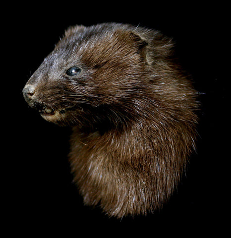 Mink Taxidermy Head Mount-Taxidermy-Thunder Bay Taxidermy-PaxtonGate
