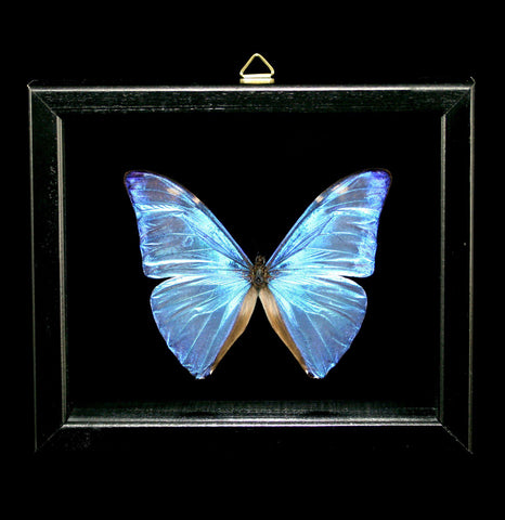 Double Glass Framed Morpho Aega Butterfly-Insects-Al & Judy Scramstad-PaxtonGate