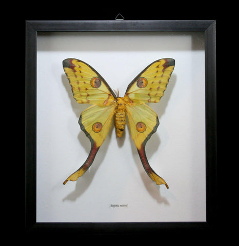 Framed Female Argema Mittrei Comet Moth-Insects-Butterflies By God-PaxtonGate