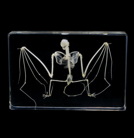 Bat Skeleton in Acrylic-Skeletons-Real Insect Company-PaxtonGate