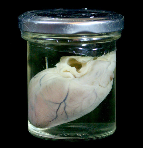 Raccoon Heart Wet Specimen - PaxtonGate