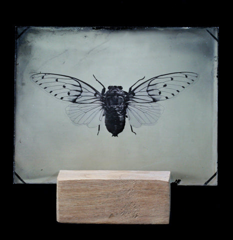 Tintype Cicada portrait - PaxtonGate