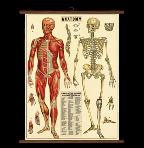 Vintage Anatomy School Chart - PaxtonGate
