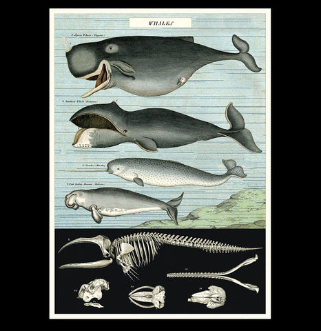 Whale Chart Poster Wrap - PaxtonGate