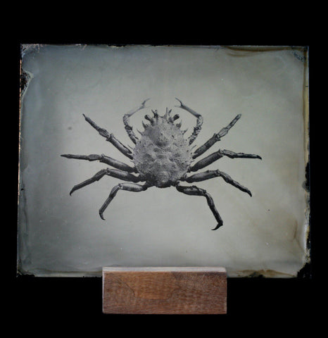 Tintype Crab Portrait - PaxtonGate