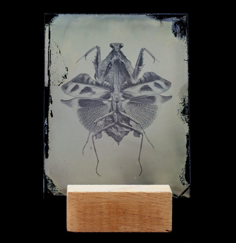 Tintype Praying Mantis Portrait - PaxtonGate