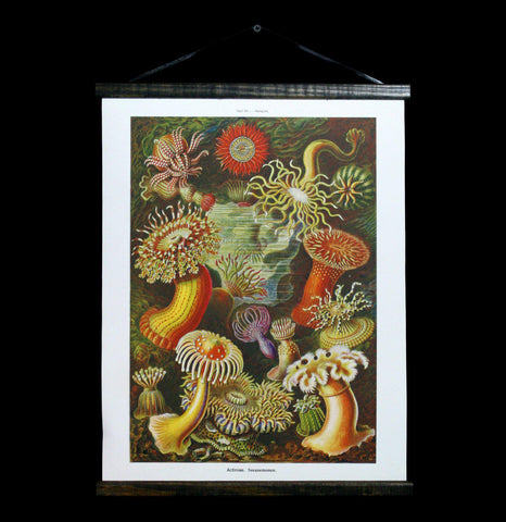 Vintage Haeckel Sea Anemone Canvas Hanging Chart-2D-Curious Prints-PaxtonGate