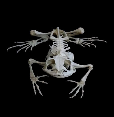 Articulated Toad Skeleton - PaxtonGate
